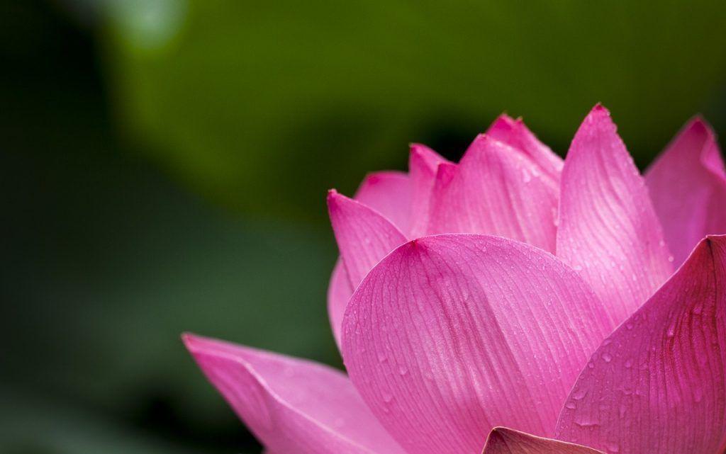 Betekenis van roze